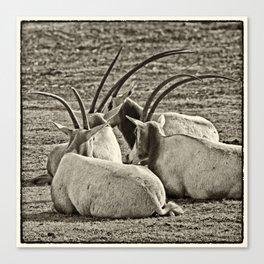 Oryx Canvas Print