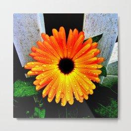 Orange Garden Marigold in the Evening Metal Print