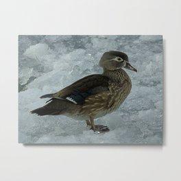 Cold Duck. Metal Print