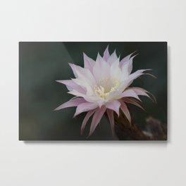 Beautiful Pale White Pink Echinopsis Oxygona Cactus Flower Metal Print