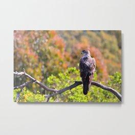 Bonelli's Eagle on leafless tree branch in sunlight.Bokeh Metal Print