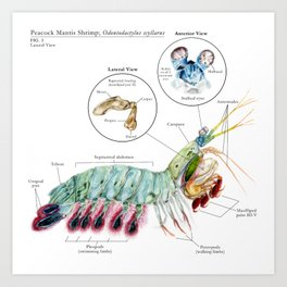 O. scyllarus (Peacock Mantis Shrimp) Art Print
