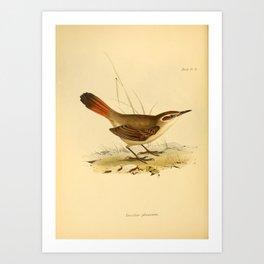 The Zoology of the Voyage of HMS Beagle 1840 - Birds 21: Eremobius phoenicurus Art Print