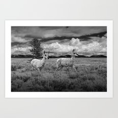 Photograph of two Young Pronghorn Antelopes Art Print