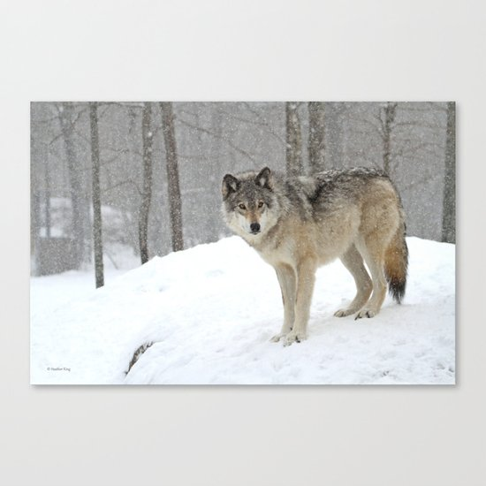 A lone wolf Canvas Print
