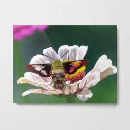Hummingbird Moth Metal Print
