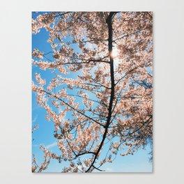 cherry blossoms. Canvas Print