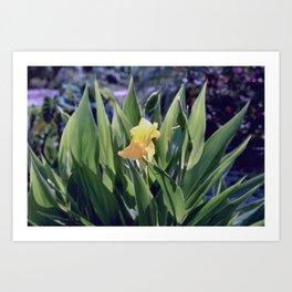 Golden Canna - Canna flaccida Art Print