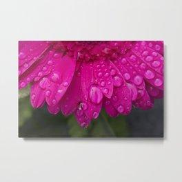 Macro of water drops resting on the petals of a beautiful dark pink Gerbera flower. Metal Print