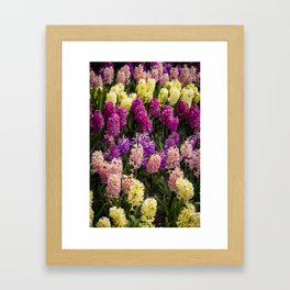 Pink, Yellow, Peach, and Magenta Colored Hyacinths Growing in Amsterdam, Netherlands Framed Art Print