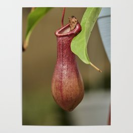 nepenthes carnivorous plant in the garden Poster