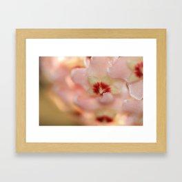 Chamelaucium uncinatum Framed Art Print