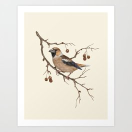 Hawfinch Bird Illustration Art Print