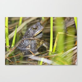 Toad in the pond Canvas Print