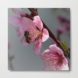 Honey Bee On Open Peach Tree Blossom Metal Print