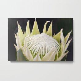 White King Protea Metal Print