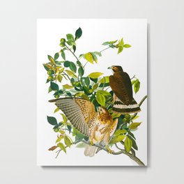 Broad Winged Hawk Metal Print