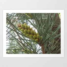 Pine Fruits Art Print