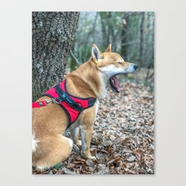 Shiba Inu yelling in the woods Canvas Print