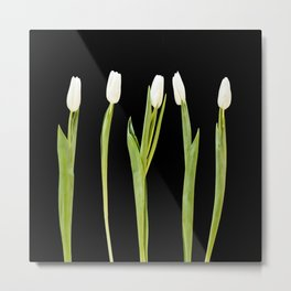 White tulips on a black background Metal Print