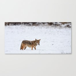 Coyote with vole lunch Canvas Print