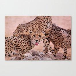 Cheetah Brothers of the Kalahari Canvas Print
