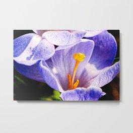 Violet Color Crocus Flower Yellow Stigma And Stamens Metal Print