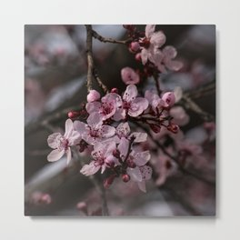 Spring Cherry Tree Blossoms - II Metal Print