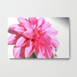 Dahlia in Pink Metal Print