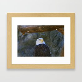 Bald Eagle Framed Art Print