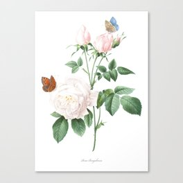 Chinese Rose art of Nature, flower print, botanical illustration Canvas Print