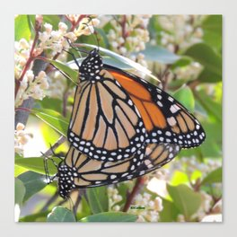 Monarch Mating Canvas Print