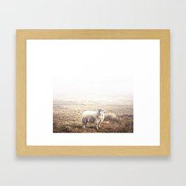 Sheep, Ireland. Framed Art Print