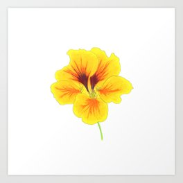 Indian cress flower - illustration Art Print