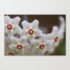 Hoya Flowers Canvas Print