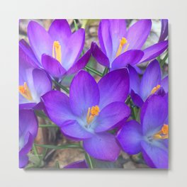Purple Crocus 2017 Metal Print