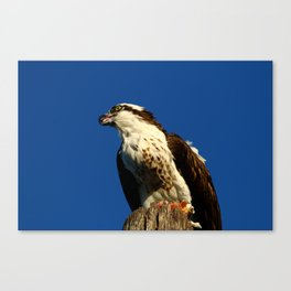 Osprey With His Dinner Leftovers Canvas Print