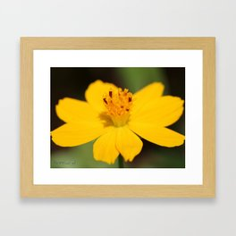 Cosmos Sulphureus named Ladybird Dwarf Lemon Framed Art Print