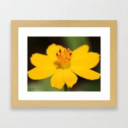 Cosmos Sulphureus named Ladybird Dwarf Lemon Framed Art Print