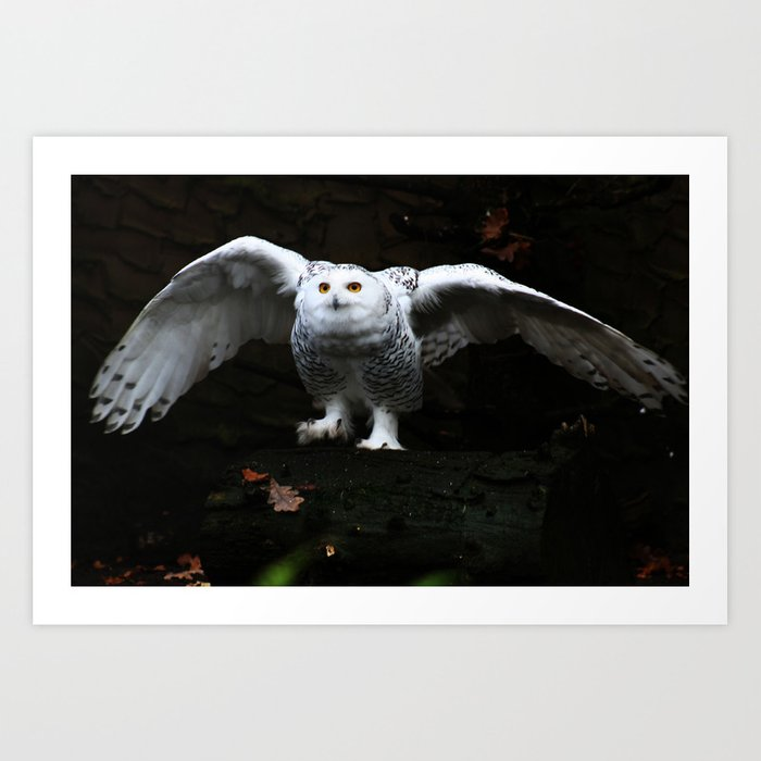 Snowy Owl With Open Wings Art Print