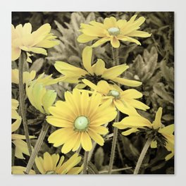 Yellow Daisy flower Sepia Country Rustic Decor Farmhouse Art A219 Canvas Print