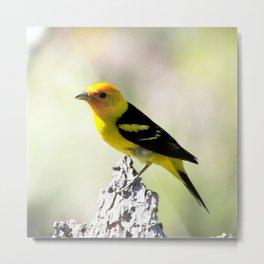 Watercolor Bird, Western Tanager 02, Estes Park, Colorado, Rainbow in the Rockies Metal Print