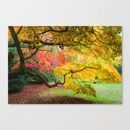 Japanese Maples (Acer Palmatum) in Autumn Colours Canvas Print