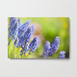 Blue Muscari Mill flowers close-up in the spring Metal Print