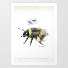 White-tailed bumblebee, poster #2 Art Print