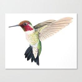Anna's Hummingbird in Flight Canvas Print