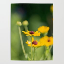 Portrait of a Wildflower in Summer Bloom Poster