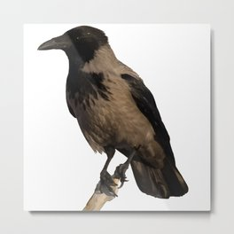 Hooded Crow Isolated Metal Print