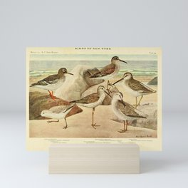 Vintage Print - Sandpipers, Turnstone, Sanderling, Dowitcher & Knot, from Birds of New York (1910) Mini Art Print