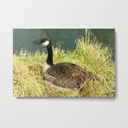Canada Goose on a Nest Metal Print